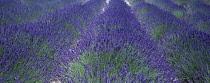 Lavender, Lavandula.