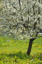 Cherry, Prunus.