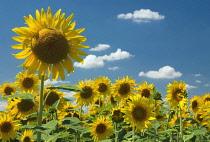 Sunflower, Helianthus.
