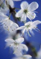 Blackthorn, Sloe, Prunus spinosa.