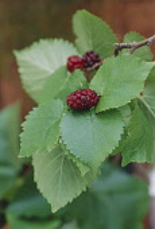 Mulberry, Morus nigra.