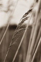 Reeds, Sedge, Phragmites australis.