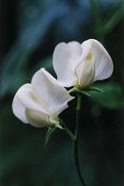 Sweetpea, Lathyrus odoratus 'Mrs Collier'.