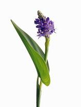Pickerelweed, Pontederia cordata 'Lanceolata'.
