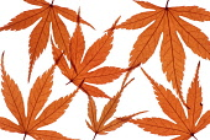 Japanese Maple, Acer palmatum dissectum atropurpureum.
