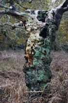 Oak, Quercus.