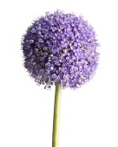 Allium, Allium 'Globemaster'.