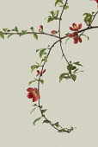 Quince, Chaenomeles japonica.