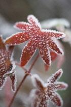 Meadow Cranesbill, Geranium pratense.