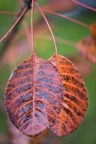 Smokebush, Cotinus coggygria 'Royal purple'.