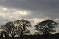 Oak, Acorn, Quercus robur.