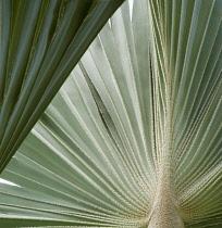 Fanpalm, Palm.