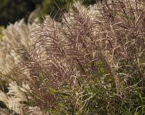 Japanesesilvergrass, Miscanthus sinensis 'Sirene'.