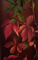 Virginia creeper, Parthenocissus quinquefolia.