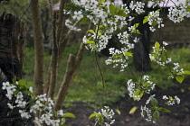 Cherry, Prunus avium.