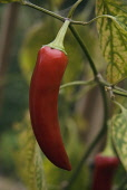 Chilli, Capsicum annuum 'Hungarian hot wax'.