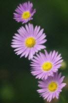 Daisy, Brachycome iberidifolia.
