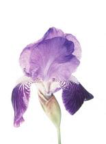 Iris, Bearded iris, Iris germanica.