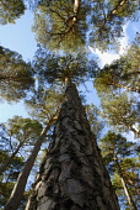 Pine, Scots pine, Pinus sylvestris.