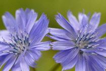 Chicory, Cichorium intybus.