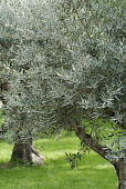 Olive, Olea europea.