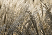 Miscanthus, Chinese SIlver Grass, Miscanthus sinensis.