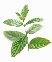 Mint, Spearmint, Mentha spicata.