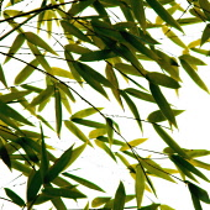 Bamboo, Phyllostachys.