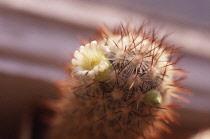 Cactus, Pincushion cactus, Mammillaria microhelia.