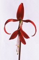 Jacobean Lily, Sprekelia formosissima.