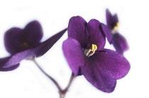 African Violet, Saintpaulia.