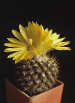 Cactus, Parodia formosa.