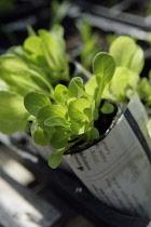 Lettuce, Lactuca sativa.