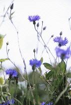 Cornflower, Centaurea cyanus.