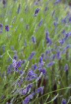 Lavender, Lavandula augustifolia.