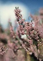 Heather, Calluna vulgaris.