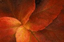 Boston ivy, Parthenocissus tricuspidata.