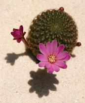 Cactus, Pincushion cactus, Mammillaria.