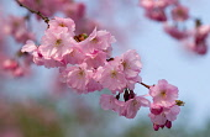 Cherry, Prunus 'Accolade'.