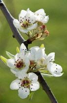 Pear, Pyrus salicifolia 'Pendula'.