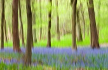 Bluebell wood, Hyacinthoides.