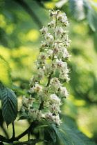 Horse Chestnut, Aesculus hippocastanum.