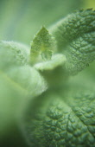 Mint, Apple mint, Mentha rotundifolia.