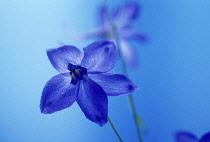 Delphinium, Delphinium 'Blue Bees'.