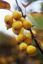 Crabapple, Malus x zumi 'Golden Hornet'.