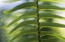 Fern, Polypodium vulgare.