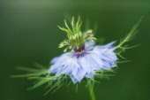Love-in-a-mist, Nigella damascena.