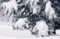 Cypress, Cupressus sempevirens.