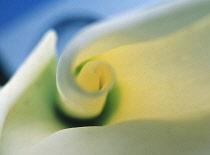 Lily, Arum lily, Calla lily, Zantedeschia.