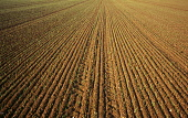 Wheat, Triticum cultivar, Early green shots of winter wheat planted in drills or closely spaced rows. England, Norfolk,